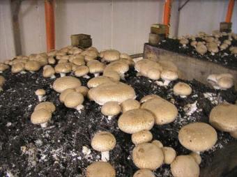 Mushroom business